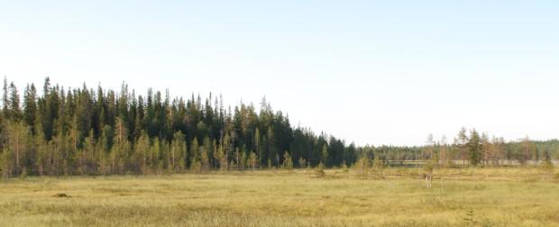 Bilden föreställer en 180-årig skog som utvecklats naturligt på kantzonen mellan kärr och moskog i Taivalkoski.