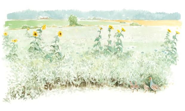 Auringonkukkapelto. Etualalla peltopyypoikue.
