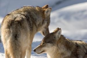 susi / varg / gumpe / wolf