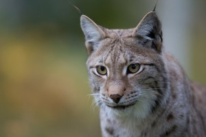 Ilves / Lodjur / Albbas / Lynx