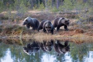 Kolme karhua lammen rannalla / tre björnar