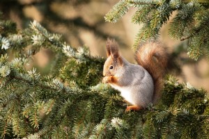 orava / ekorre / Oarri / red squirrel
