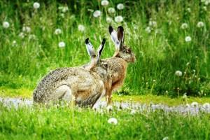 rusakko / fälthare / Ruoššanjoammil / brown hare