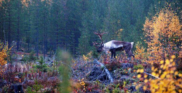 Metsäpeurahirvas / skogsren / vuovdegoddi / wild forest reindeer