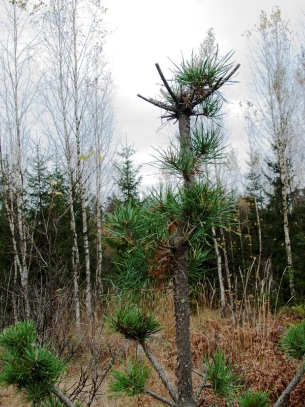 Hirven metsäpuustolle aiheuttamaa vahinkoa.