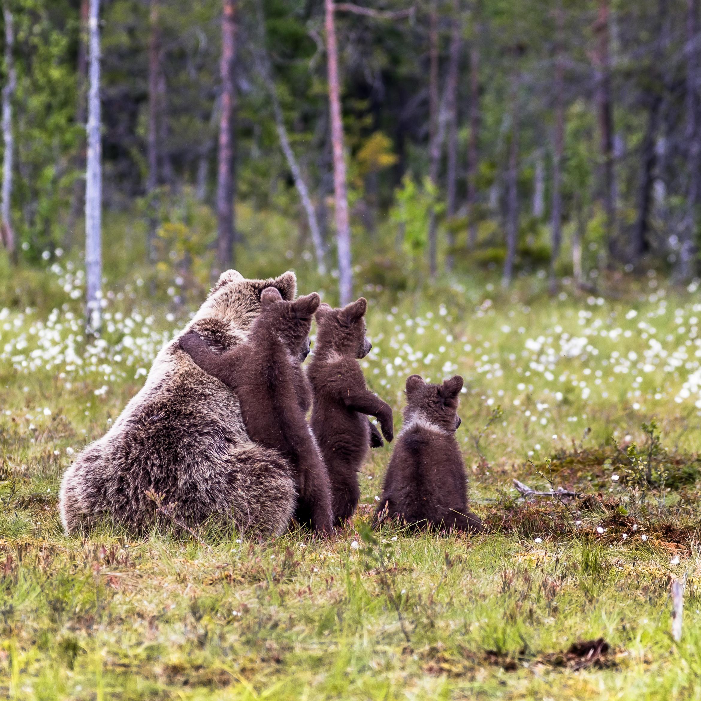 Karhujen Määrä Suomessa