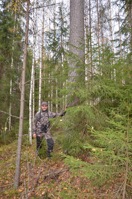 Tilalla kasvaa hurjan suuria mäntyjä. Niistä Alhainen teki hankintakaupan erikoistyvestä paikallisen Lopen rakennuspuun kanssa. Ei suostunut isäntä kuvauksissa puun halailuun, vaikka vähän yllytettiin :)