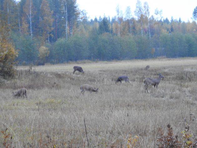 Useita valkohäntäpeuroja pellolla syksyllä.