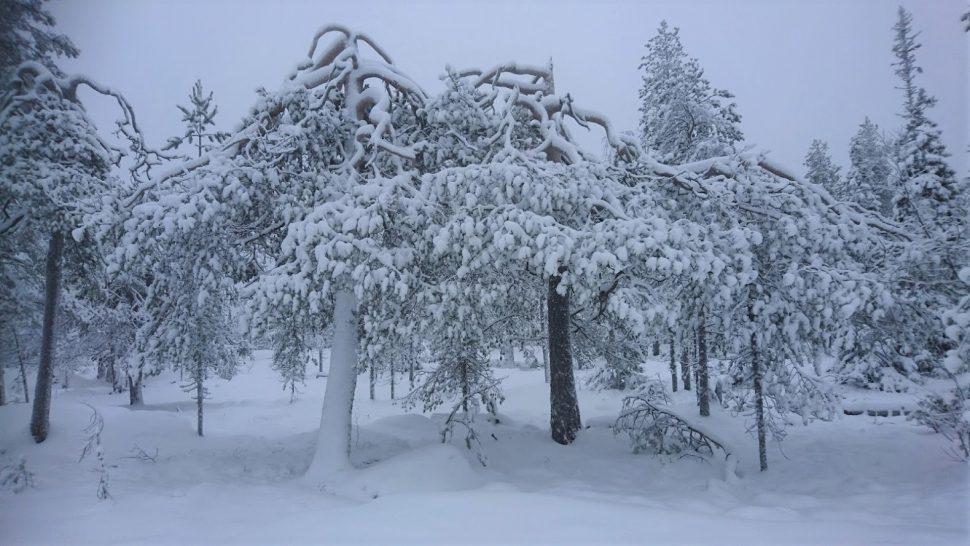 Luminen hämärä metsä.