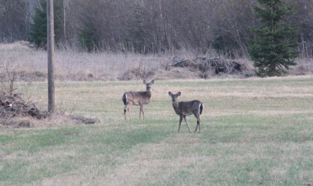 Kaksi valkohäntäpeuraa pellolla.