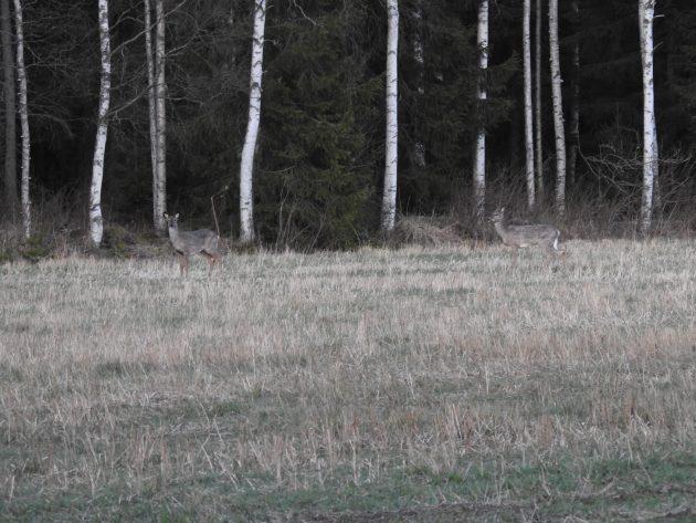 Kaksi valkohäntäpeuraa pellon laidalla hämärän aikaan.