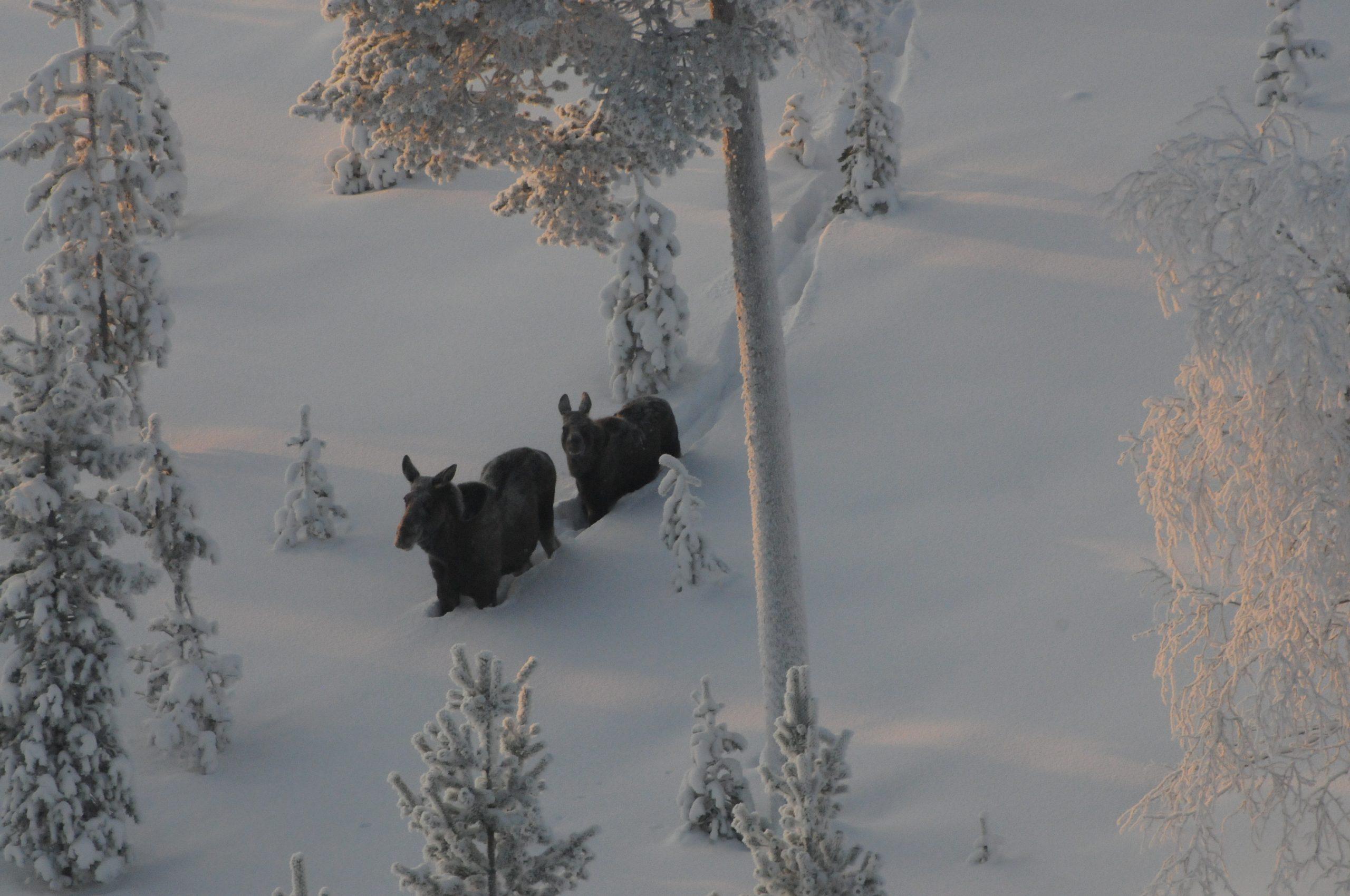 Kaksi hirveä kuvattuna yläilmoista. Kävelevat lumella.