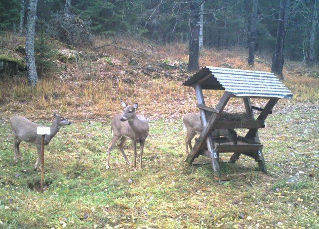 Kolme valkohäntäpeuraa syksyisessä maastossa. Yksi peuroista on syömässä ruokintakatoksesta.
