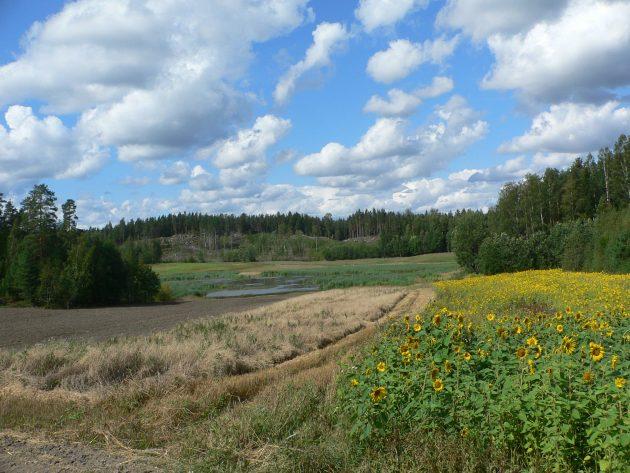 Kesäinen maaseutumaisema, jossa etualalla auringonkukkia. Taivaalla kumpupilviä.