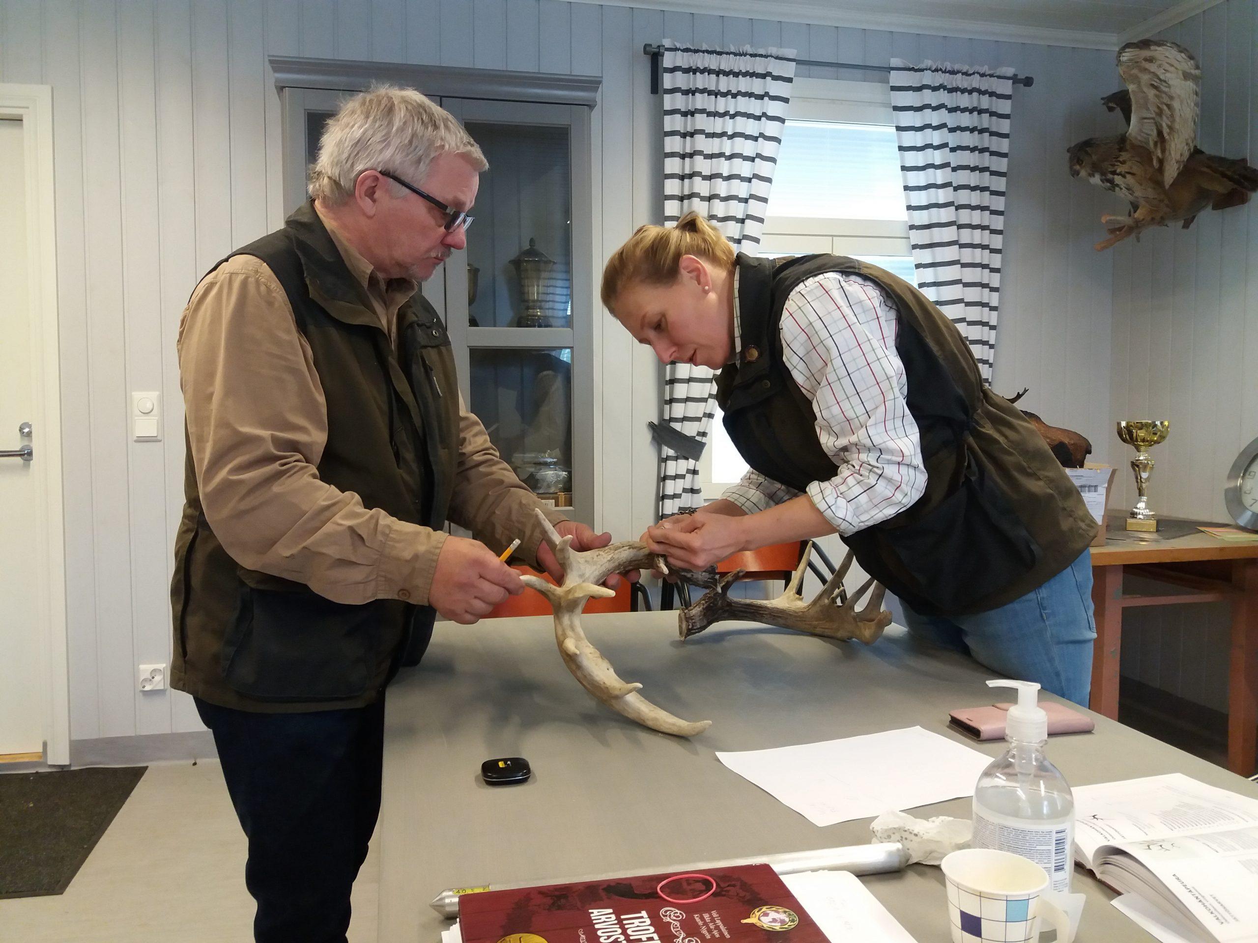Kaksi henkilöä tutkimassa pöydän päällä olevaa suurta valkohäntäpeuran sarvea.